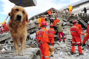 Golden search and rescue dog