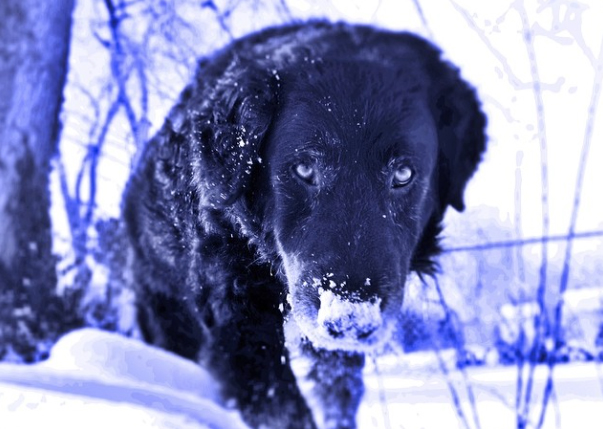 A favorite of our veterinary hospital in Springfield, MO, Keira loved snow.